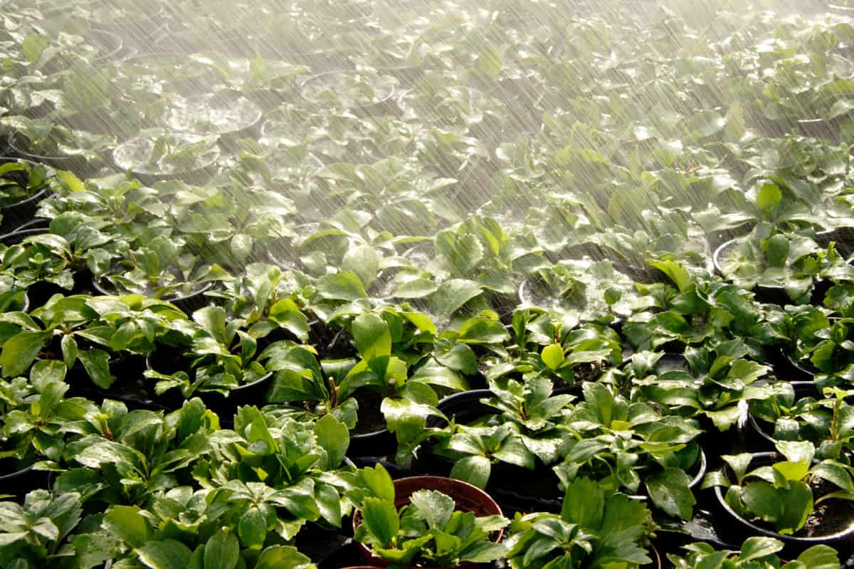 Field of potted pachysandra saplings getting a refreshing water shower