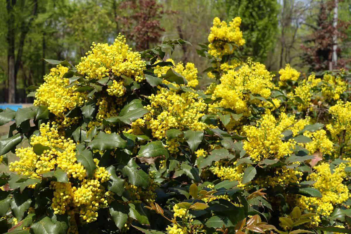 Florescence of Mahonia aquifolium bush in April