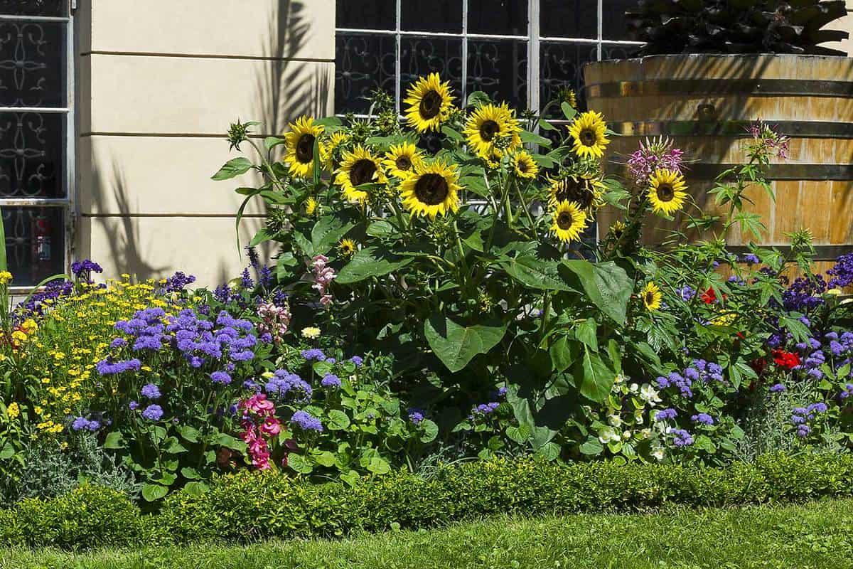 Flower bed with sunflowers in summer garden