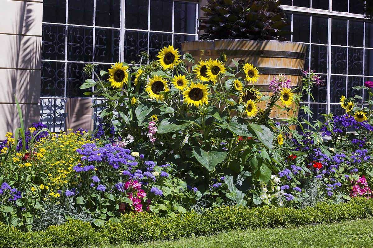 Flower bed with with lovely sunflowers in summer garden
