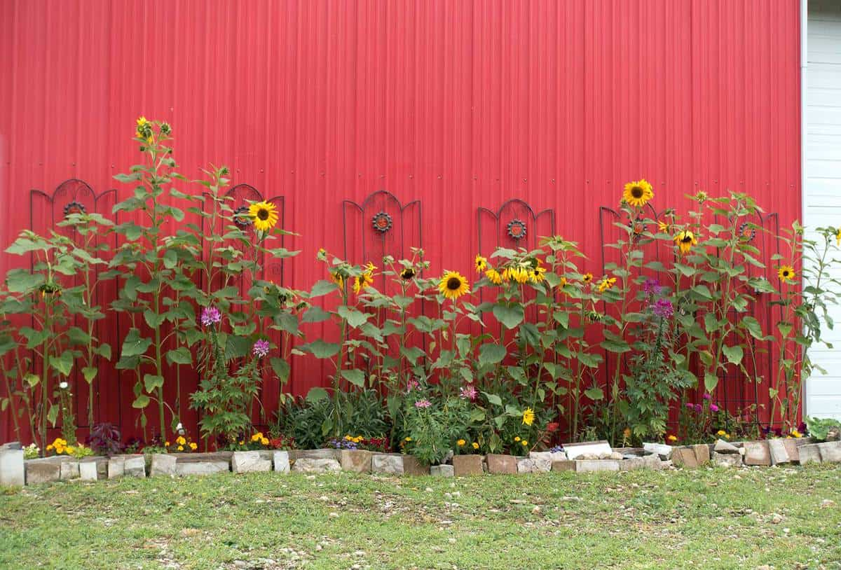 Flowering sunflower plants next to a red steel barn wall