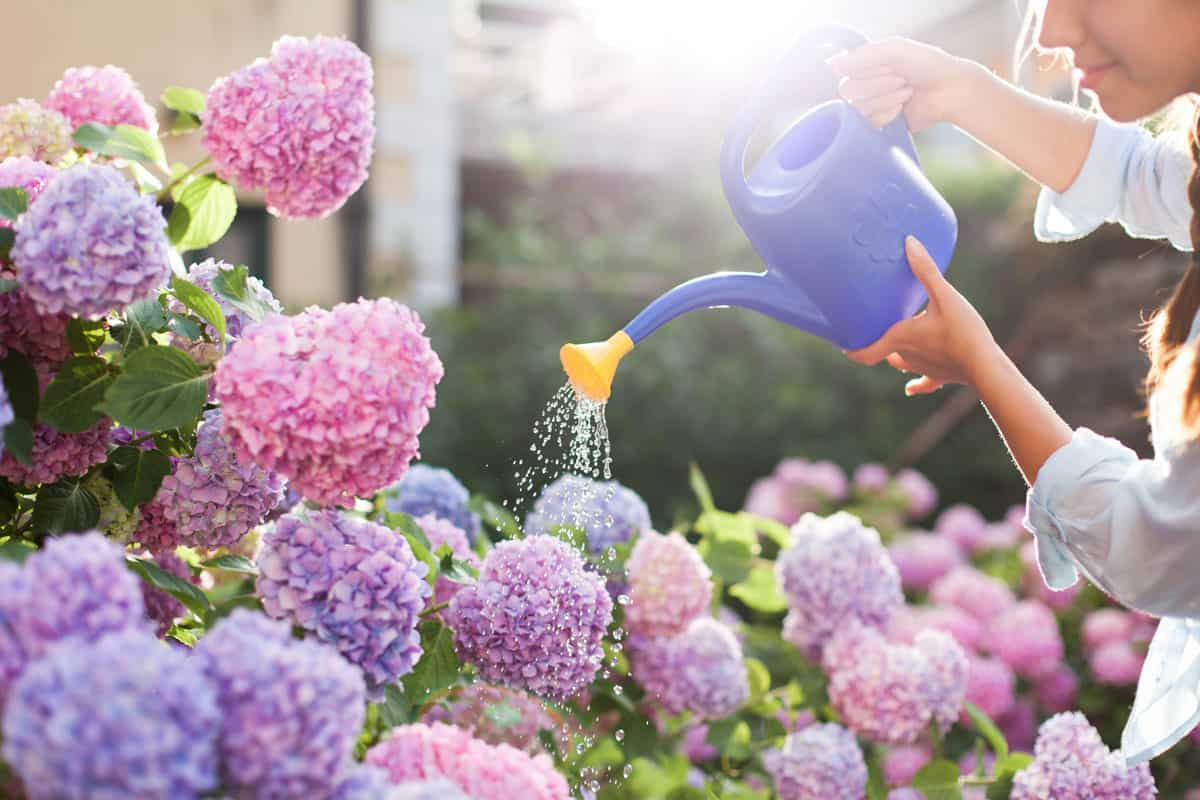 Gardening in bushes of hydrangea. Woman gardener waters flowers with watering-can