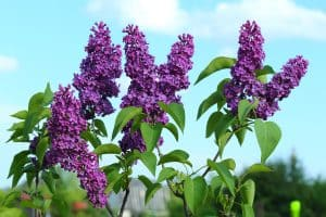 Gorgeous lilac flower blooming on a very hot day, 17 Purple Shrubs And Bushes