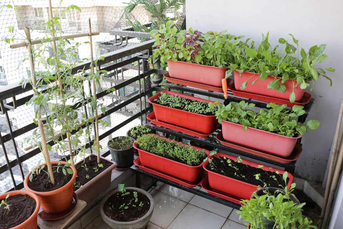 Growing assorted vegetables at the balcony