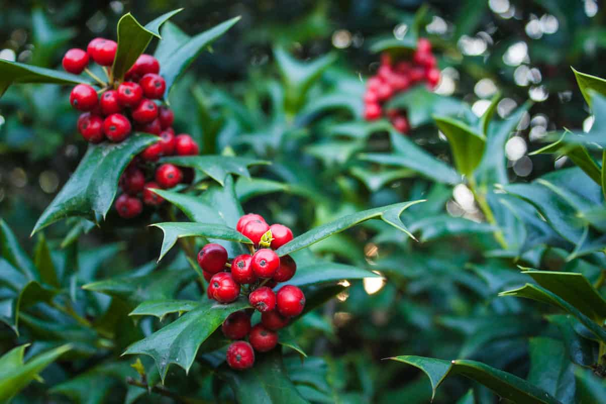 Holly Leaves and Red Berries Bush, Nature View in a park