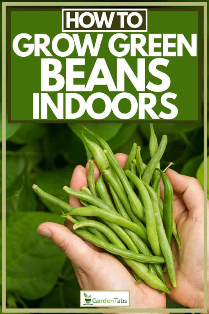Woman holding green beans on hand, How To Grow Green Beans Indoors