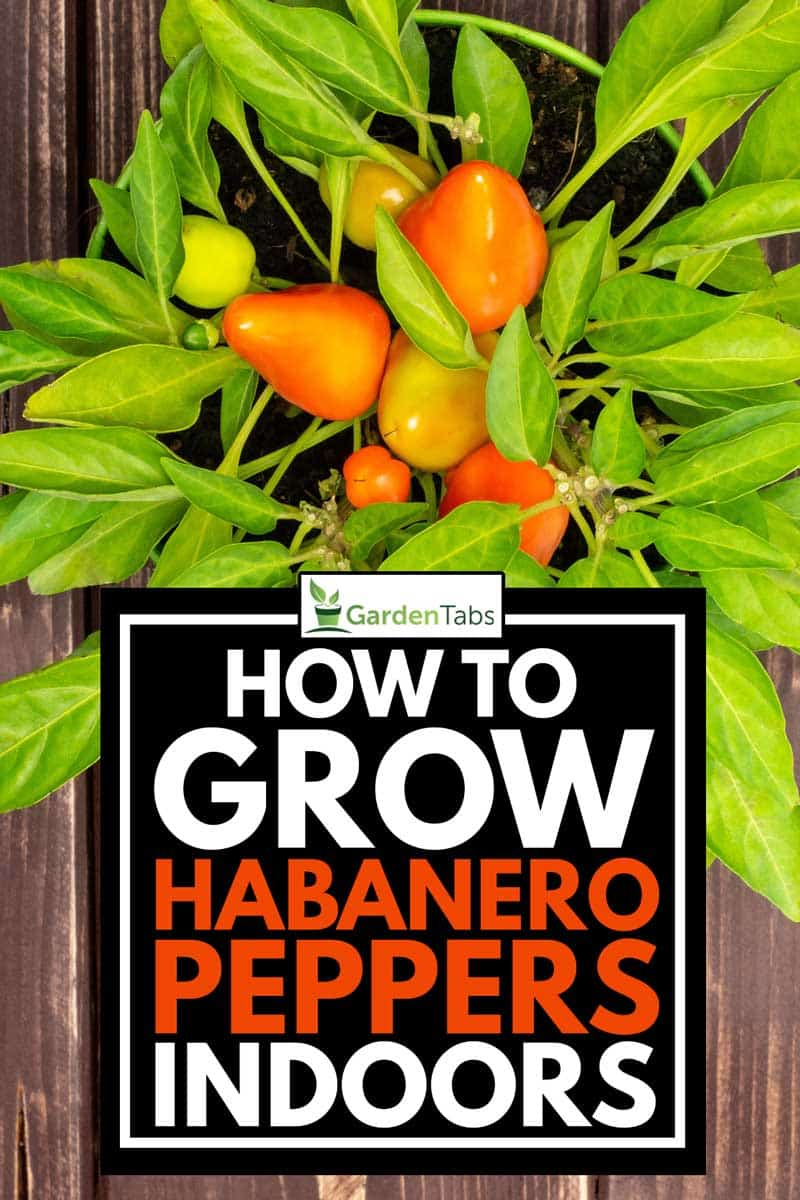 How To Grow Habanero Peppers Indoors