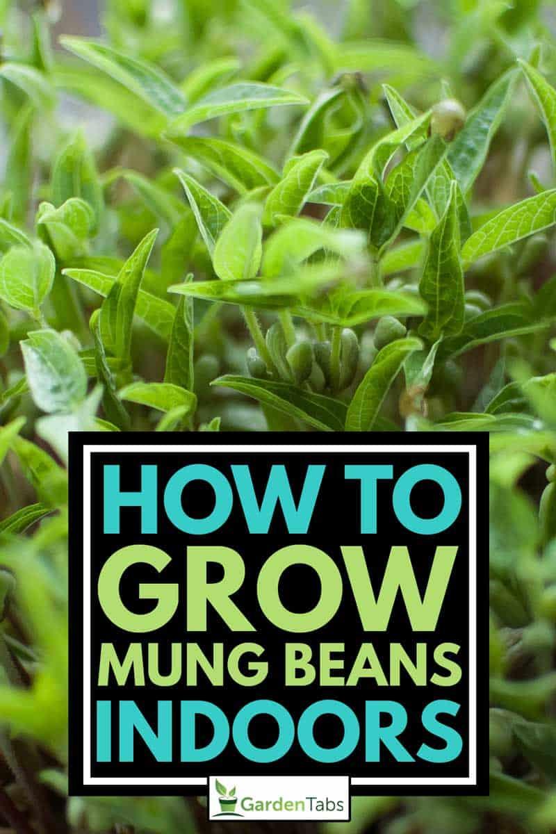 Top view of green mung bean seeds growing indoors, How To Grow Mung Beans Indoors