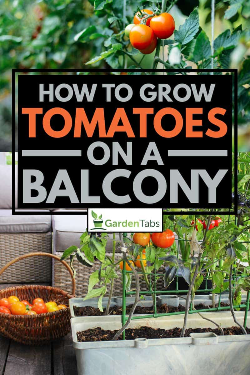 Red, orange, yellow, black tomatoes growing in container at the balcony., How To Grow Tomatoes On A Balcony
