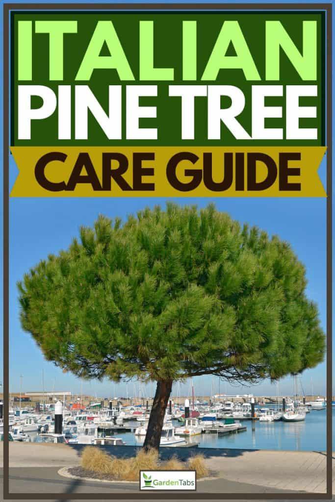 Lone stone pine tree planted near at dock, Italian Pine Tree Care Guide