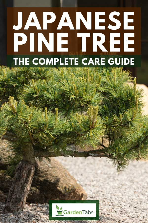 Japanese pine tree in the stone garden of a japanese house, Japanese Pine Tree: The Complete Care Guide