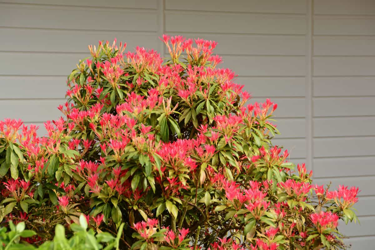 Large pieris japonica bush ( red flame) standing infront of a woodenfence