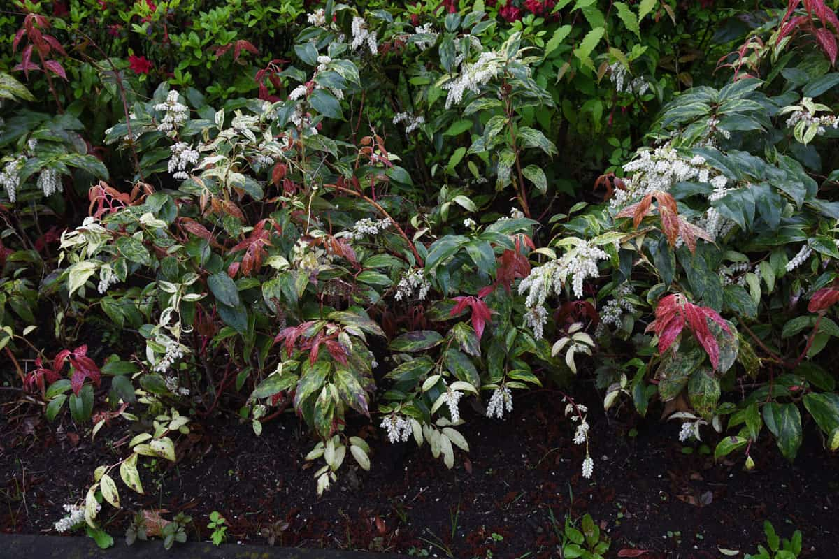 Leucothoe fontanesiana in bloom
