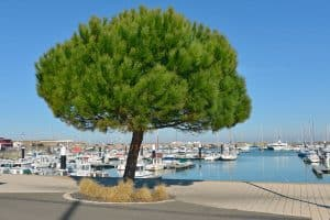 Italian Pine Tree Care Guide