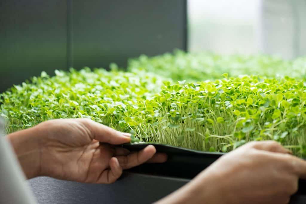 Man holding tray of microgreens
