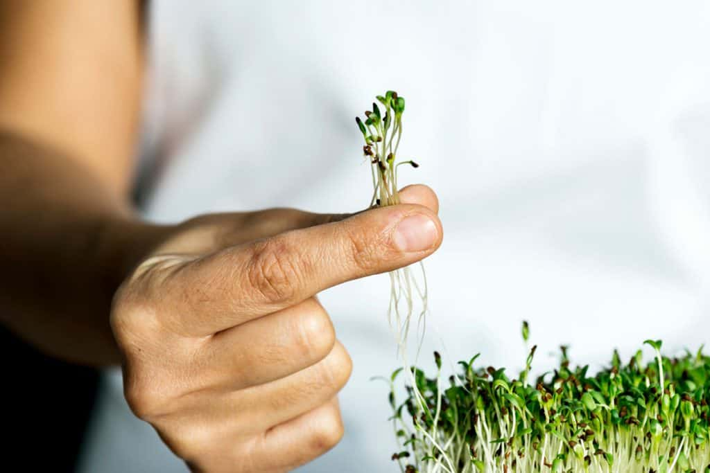 Man holding pieces of microgreens