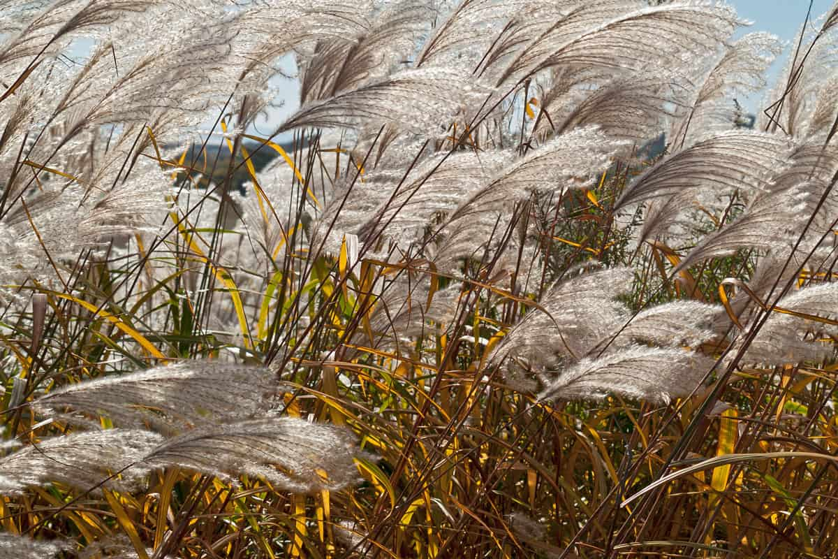 (Miscanthus sacchariflorus) Japanese silver grass in sunset