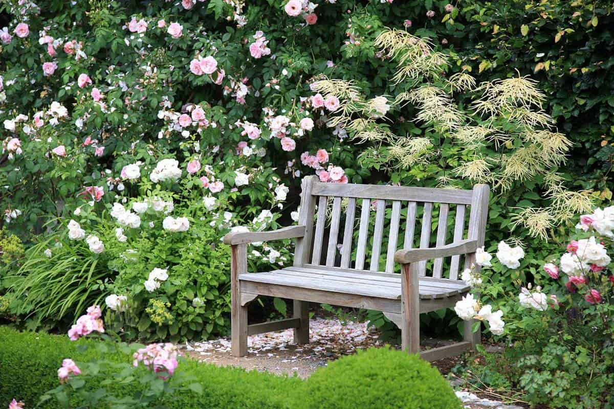 Old wooden park bench surrounded by beautiful rose bushes