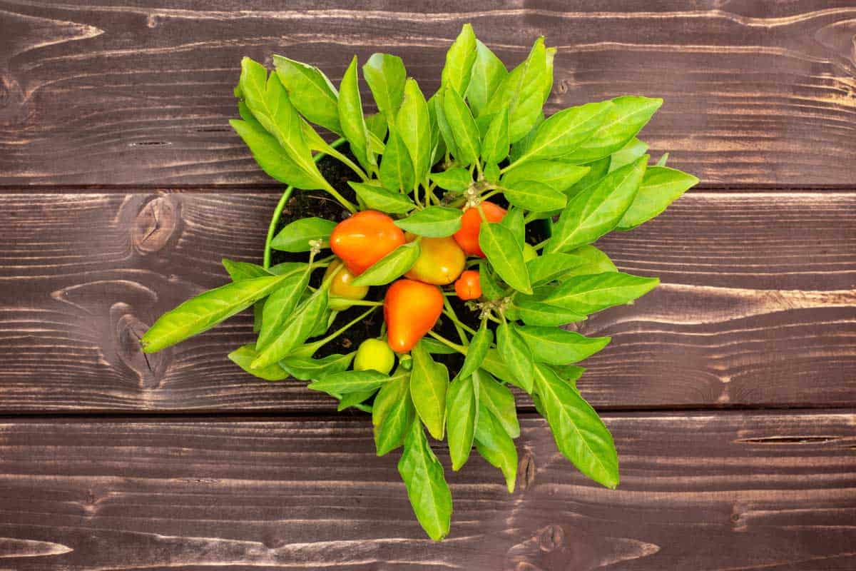 One whole hot red orange habanero, pepper growing in a green pot flatlay on brown wood
