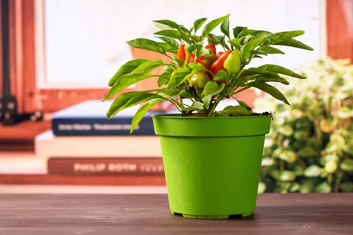 One whole hot red orange habanero pepper growing in a green pot with books near the window in background