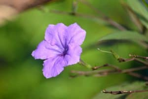Dwarf Mexican Petunia – Plant Guide