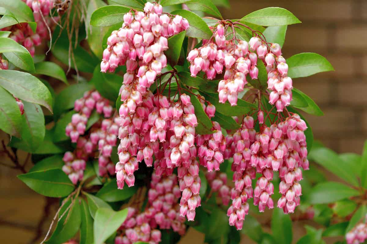 Pieris japonica, also called Japanese andromeda and Japanese pieris, is a broadleaf evergreen shrub, featuring drooping clusters of lily-of-the-valley-like flowers in early spring