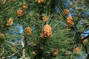 Pinus Sylvestris close up picture, 12 Types Of Pine Trees For Landscaping