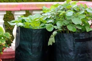 How To Grow Potatoes In A Container Indoors