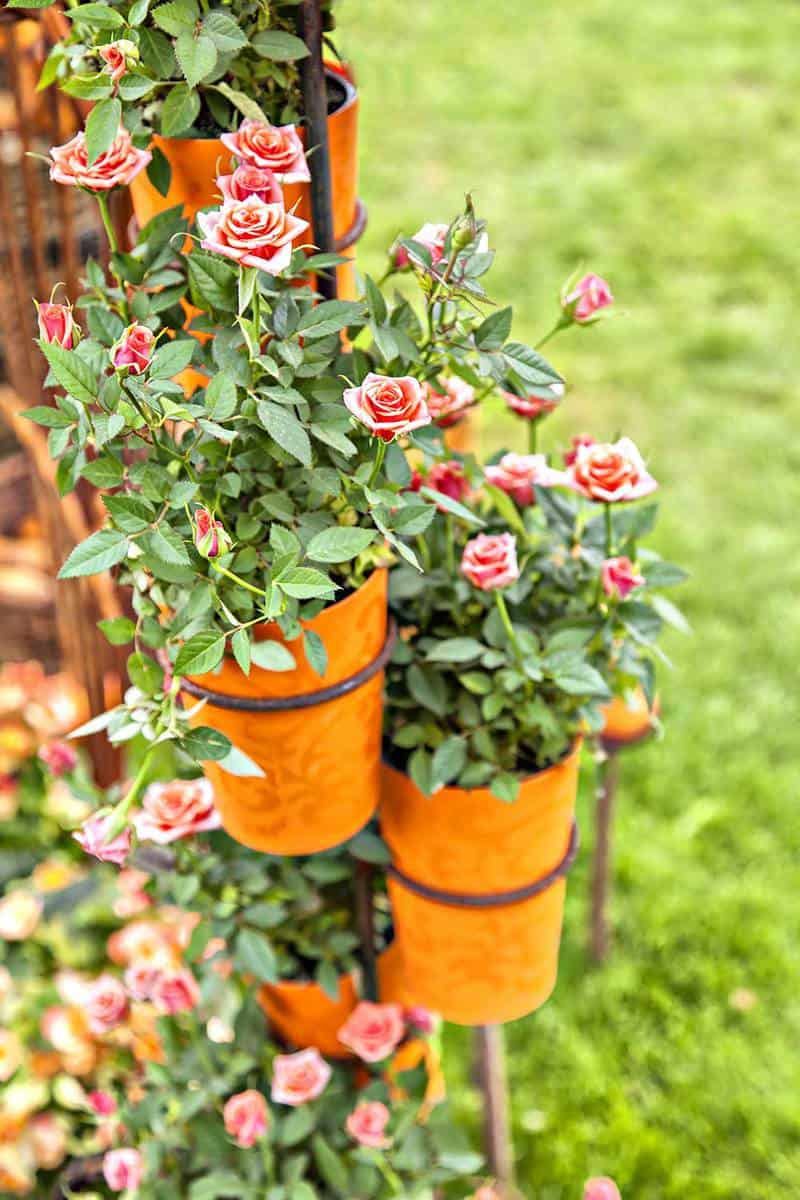 Potted roses in a rose garden