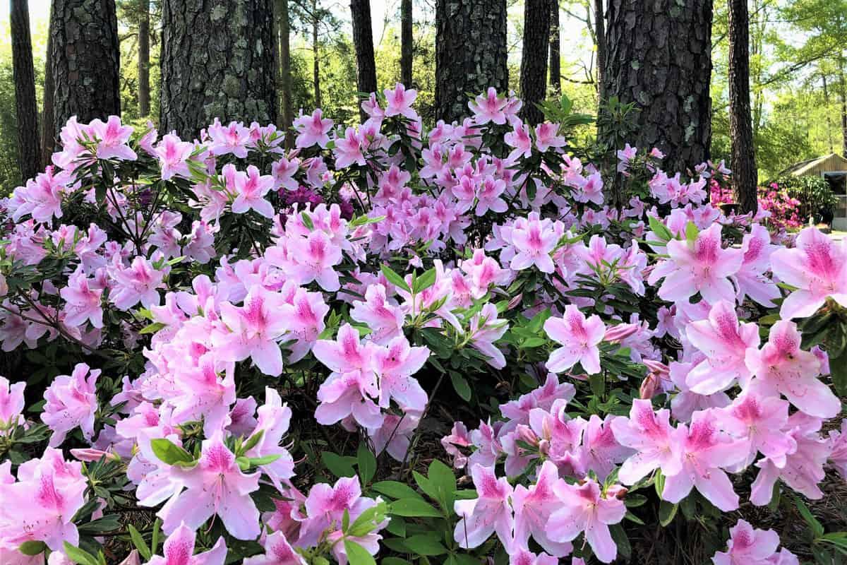 Pretty pink Azalea bush blooming in the Garden, Spring in GA USA.