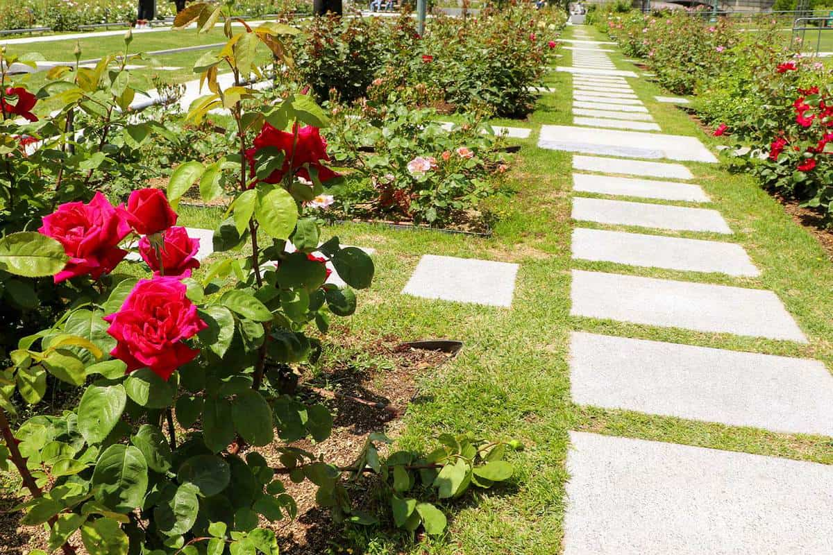 Promenade of the rose garden on sunny day