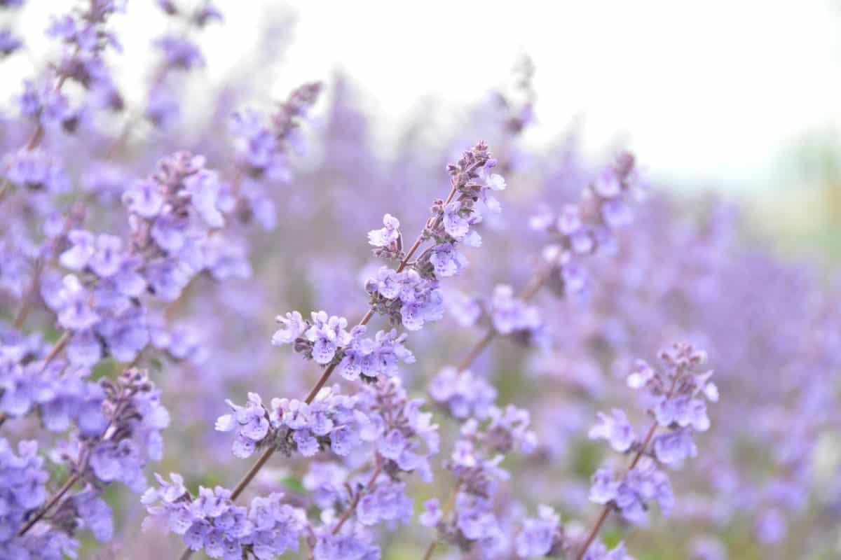 Purple Catnip flowers Nepeta cataria