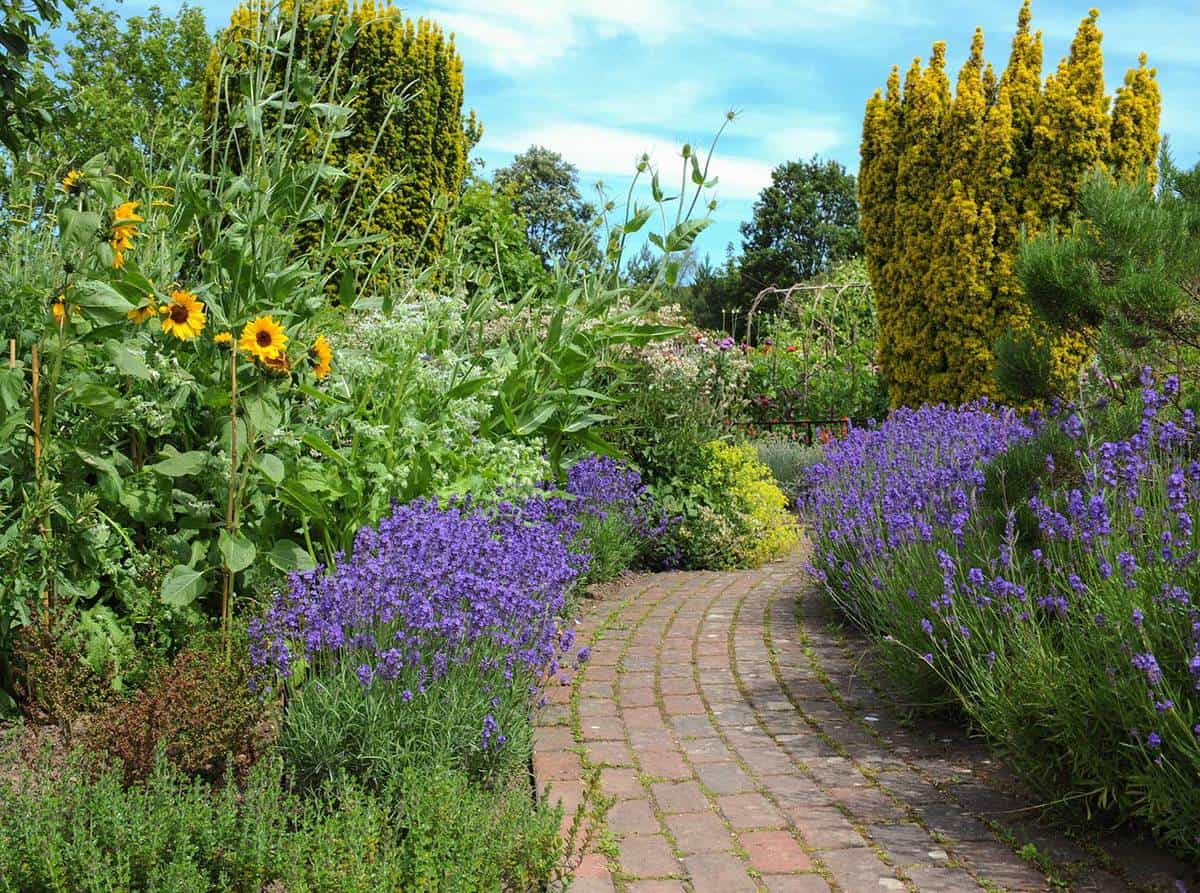 Purple flowering lavender bushes by the side of a brick footpath and sunflowers in a country cottage garden