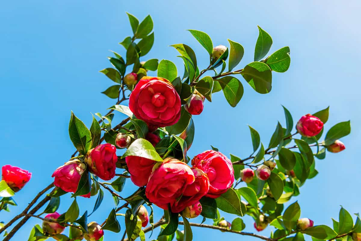 Red camellia flower branches at springtime in garden