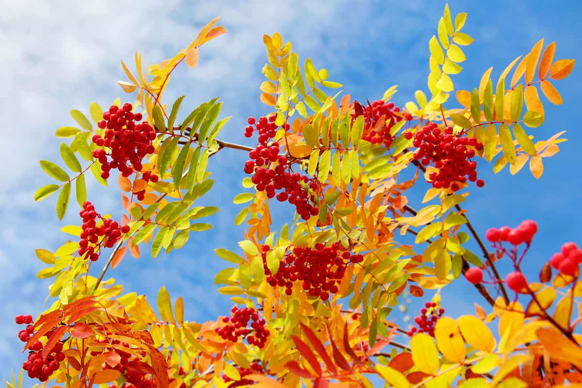 Red mountain ash with yellow leaves against the sky with clouds