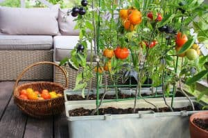 How To Grow Tomatoes On A Balcony