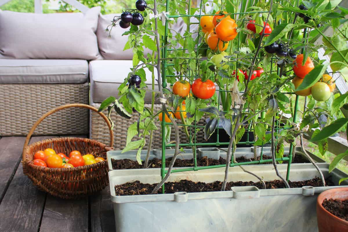 Red, orange, yellow, black tomatoes growing in container at the balcony.