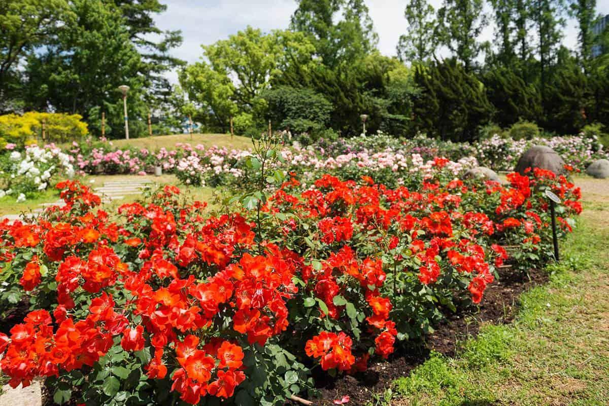 Rose garden in Park in Osaka