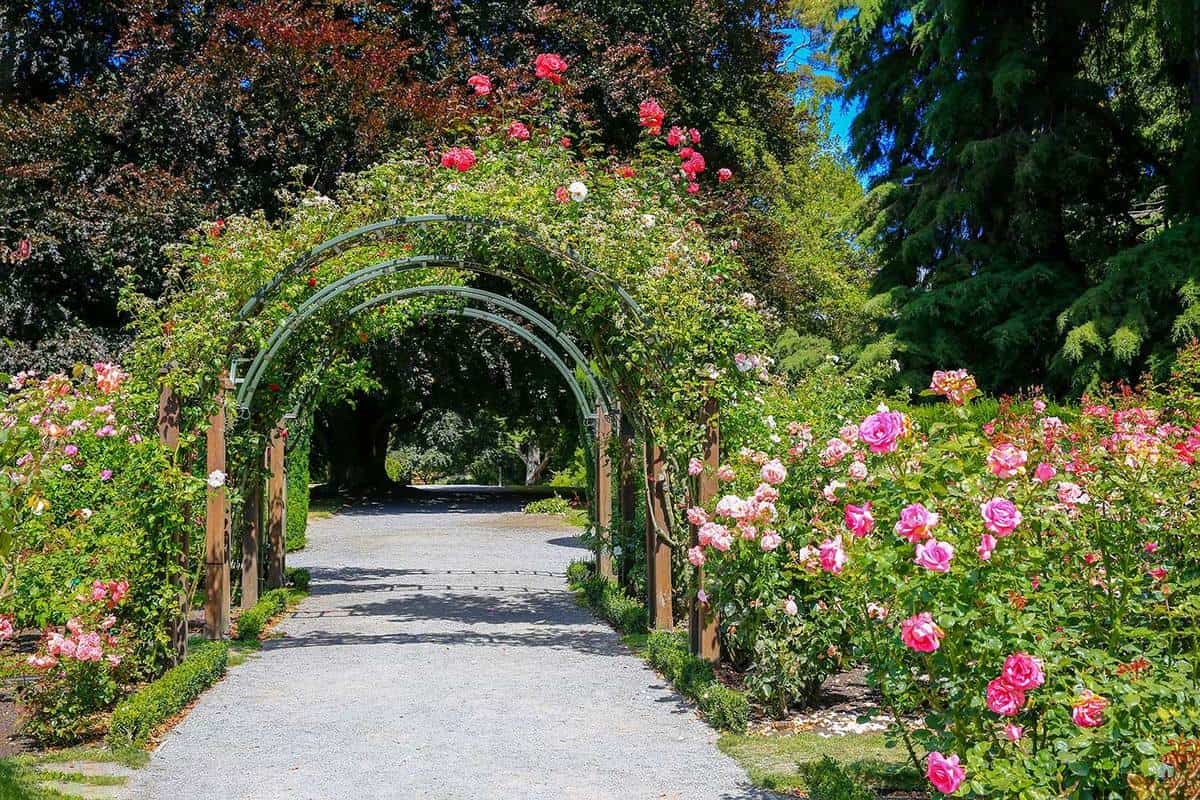 Rose garden with a selection of rambling heritage roses in Christchurch Botanic Garden, New Zealand