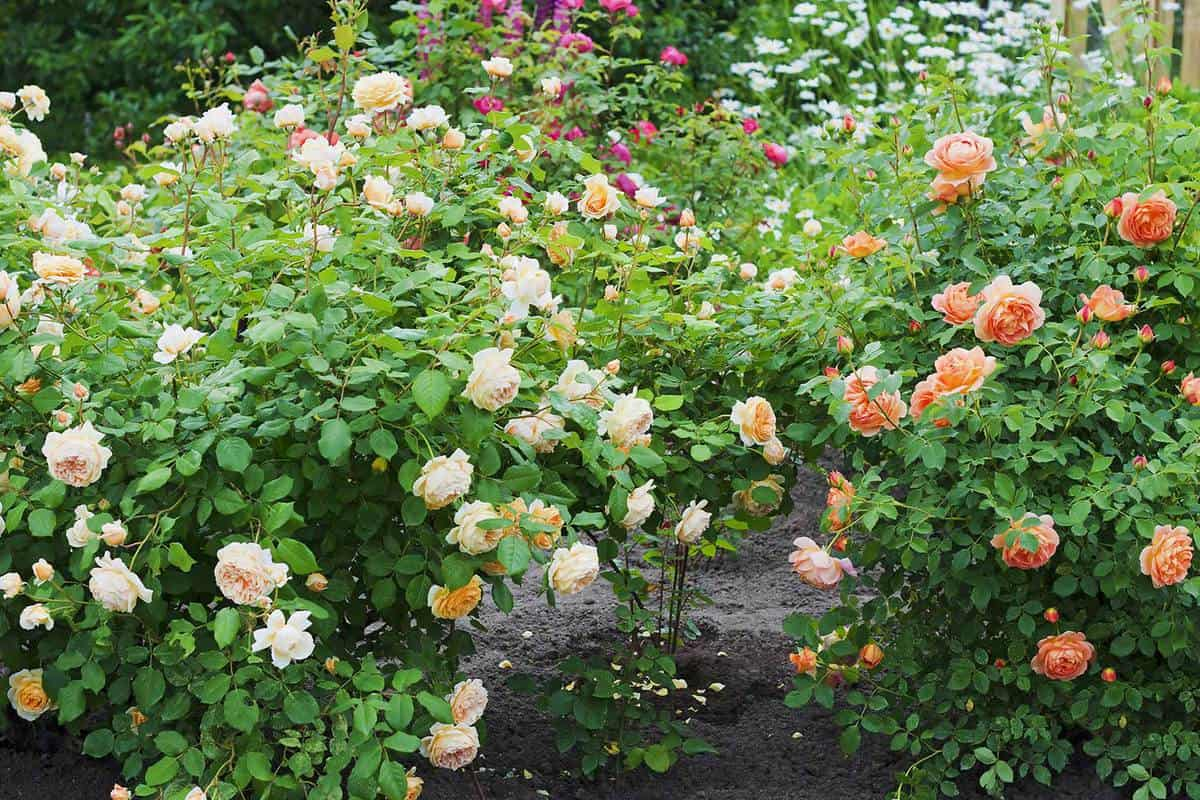 Rose garden with multi-colored roses
