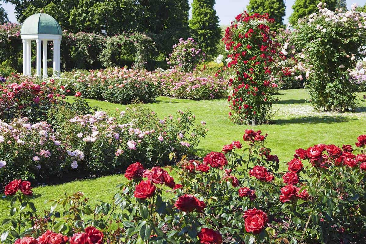 Rose garden with red and pink roses