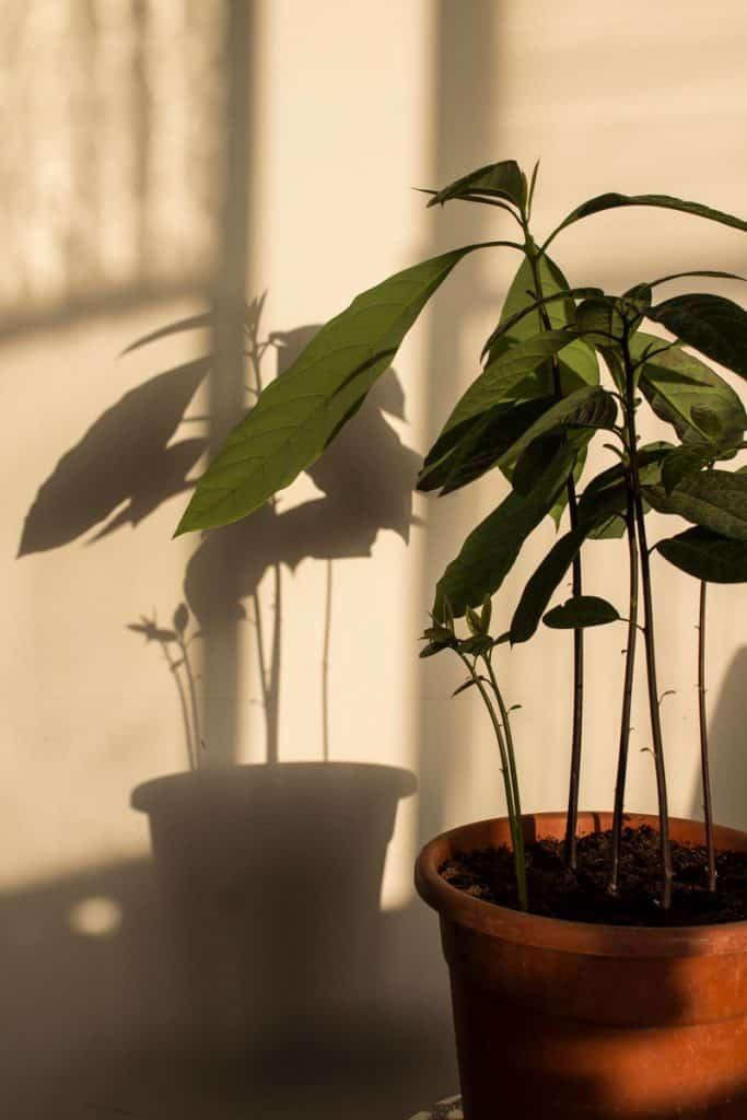 Small avocado tree planted in pot placed at corner of house
