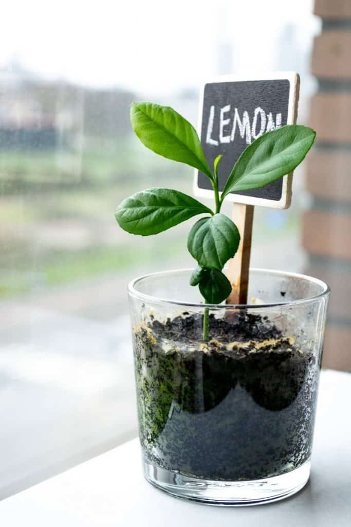 Small lemon tree planted in glass cup