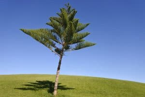 Norfolk Island Pine Tree Care Guide