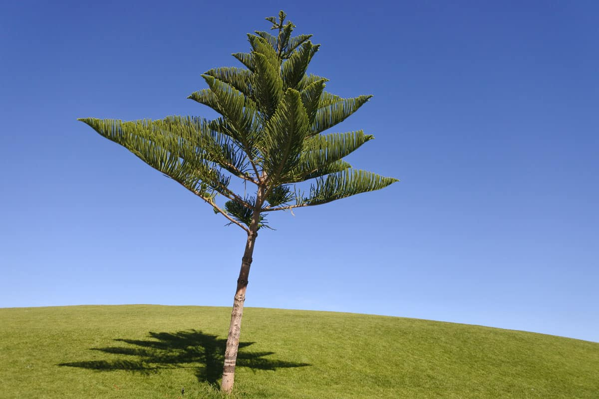 Small norfolk pine tree on grassy field with blue sky background, Norfolk Island Pine Tree Care Guide
