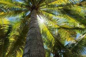 Sunlight creates a star shape through the leaves of tropical coconut palm trees, 11 Palm Trees That Provide Shade