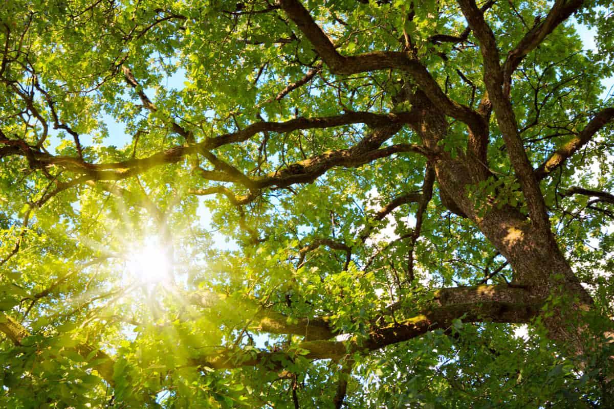The warm summer sun shines through the green oak tree.