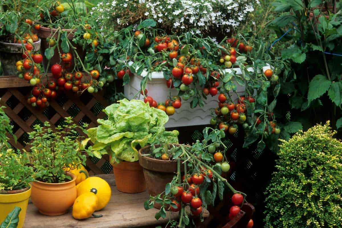 Tomato gardening in balcony