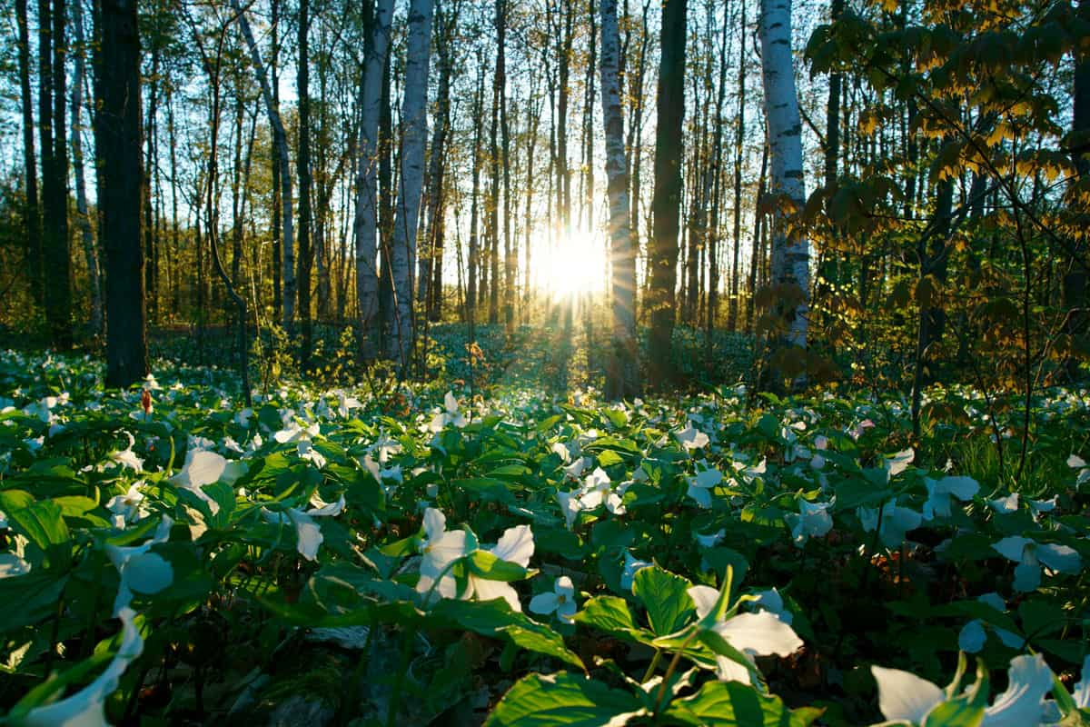 Trillium flowers of the Canadian National Park in the morning