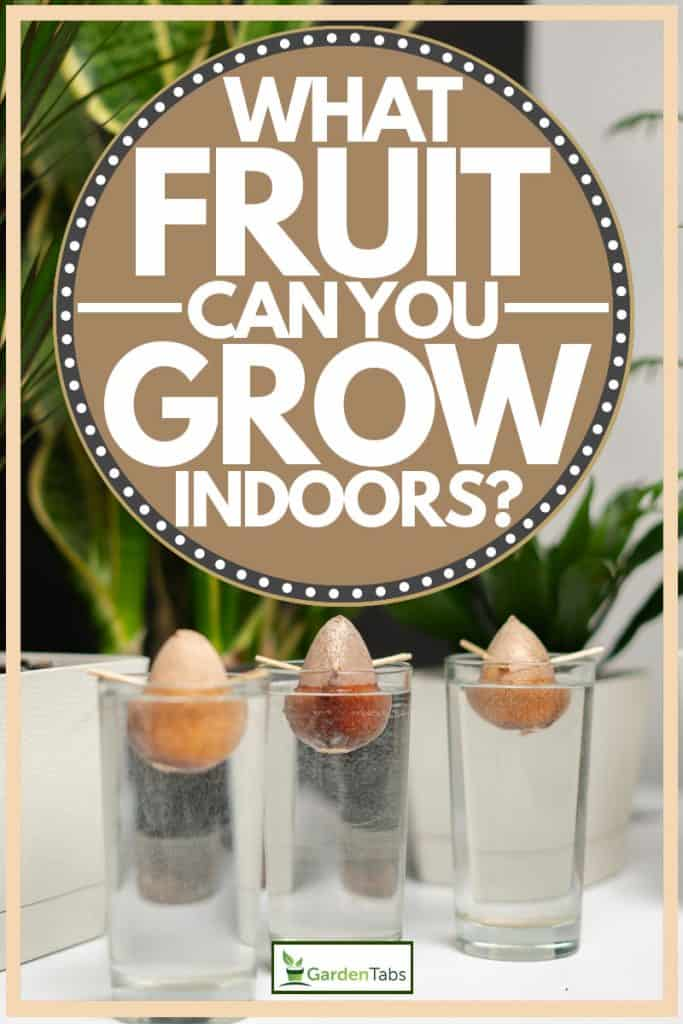 Three avocado seeds dipped in water in order to grow, What Fruit Can You Grow Indoors?